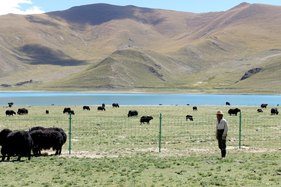 Tibet Countryside - Yak and cow herder